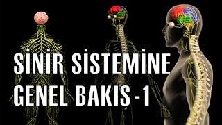 Sinir Sisteminin Yapısı ve Fonksiyonları