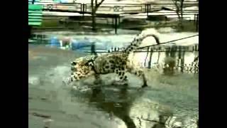Кошка ашера гуляет по луже Ashera cat walks through a puddle Юмор! Прикол! Смех