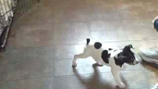 Dfw Dog Training | Redeeming Dogs | Sprite - Decker Rat Terrier - 8 Weeks Old
