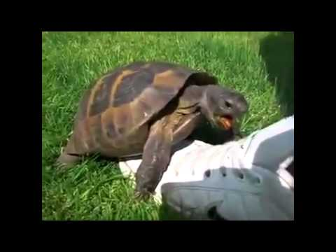 The Taylor Swift Turtle
