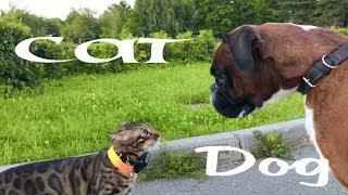 Собака  против бенгальского кота.Dog vs Cat.