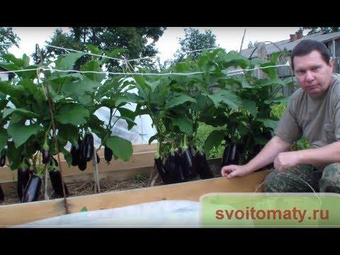 Если плохо растут баклажаны, может вы делаете что то не так?