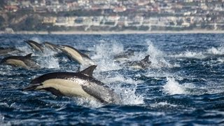 Dolphin Stampede Overtakes Whale Watching Boat