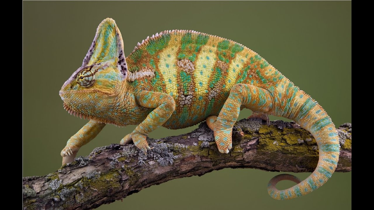 Amazing Facts About Chameleons - YouTube