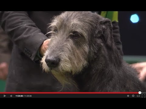 Just in Time - Best in Hounds Group at Crufts 2014