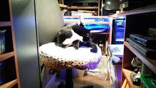 ЧЕРНО БЕЛЫЙ кот СТЕПКА (СМОКИНГ)-вечерняя медитация(уход за мехом №3)
