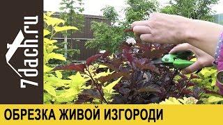 видео Живая изгородь из пузыреплодника калинолистного
