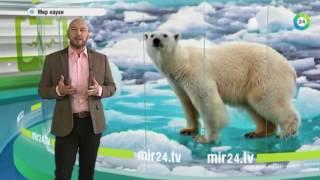 Белые медведи на грани вымирания