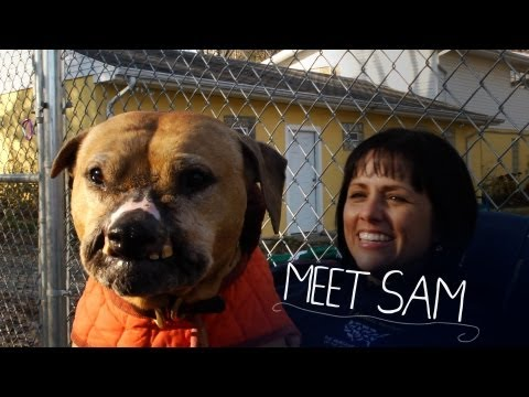 Bulletproof Sam, Rescued From Dogfighting