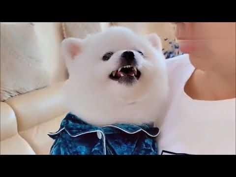 Dog Barking Videos Compilation | Very Cute Little Dog Barking. 2020
