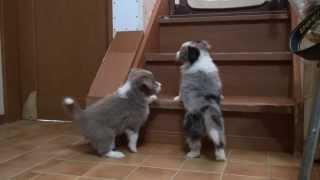 ボーダーコリーの子犬です。 子犬の詳細は → http://www.angelwan.com/?...