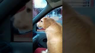 Ben yoruldum hayat şarkısında ağlayan köpek(İNANILMAZ)