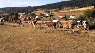 Malesveilles : les vaches rentrent à la ferme