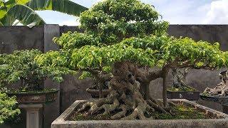 Vườn này chuẩn bị mang cây đi Hải Dương triển lãm nhé