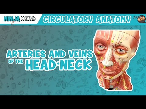 Circulatory System | Arteries & Veins of the Head & Neck | Head Model
