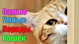 видео Самые умные породы кошек