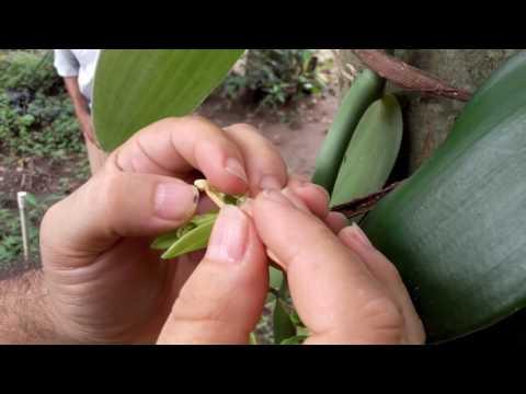 Vanilla Orchid Pollination