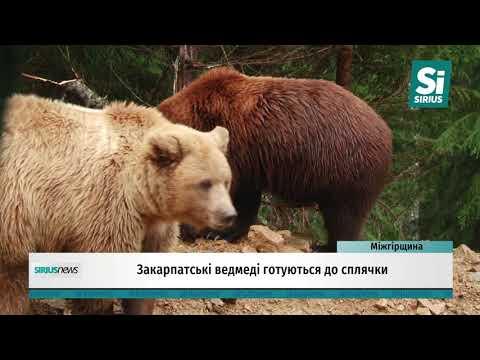 Закарпатські ведмеді готуються до сплячки