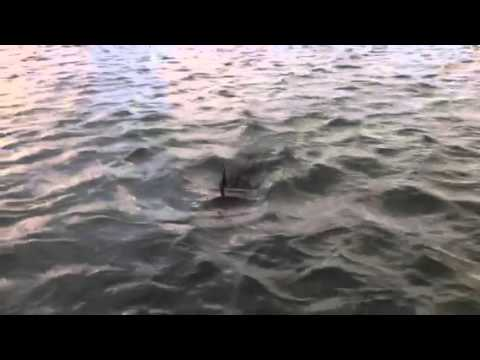 Dolphins swimming by boat