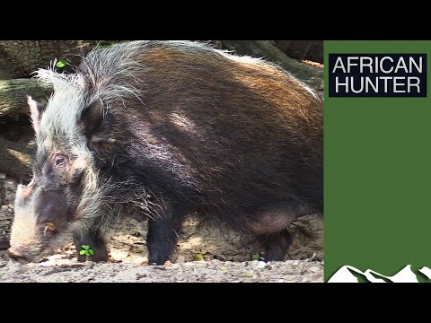 Bushpigs - African Hunter Episode 1