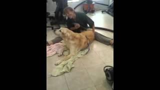 Toby A Senior Labrador Retriever Getting A Blow Dry