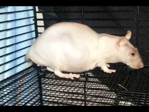 Pictures of pregnant rats
