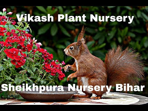 Nursery In Sheikhpura District (Vikash Nursery)