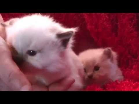 Blues, Seals, Bi-colors, Lynx  Ragdoll Kittens Oct, 28, 2016 A Ragdoll To Love Cattery
