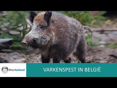 DierAnimal - Varkenspest in België