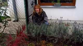 Осенняя обрезка лаванды