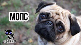 Мопсы / Интересные факты о собаках