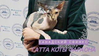 Кошка канадский сфинкс ГАТТА КОТЫ ФАРАОНА