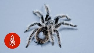 This Tarantula's Curly Hair is a Weapon In Disguise