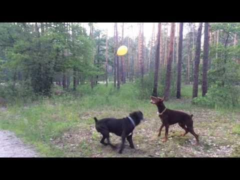 Cane Corso & Doberman vs balloons