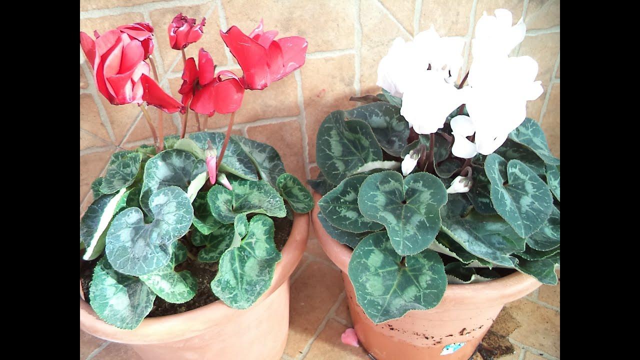Transplante y cuidados del cyclamen youtube - Cuidados de las hortensias ...