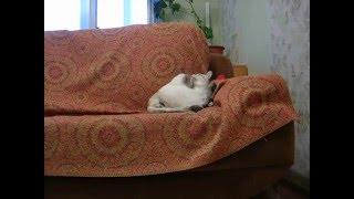 Тайский кот - матрац и подушка для кошки! Шок! Тайские кошки - это чудо! Funny Cats