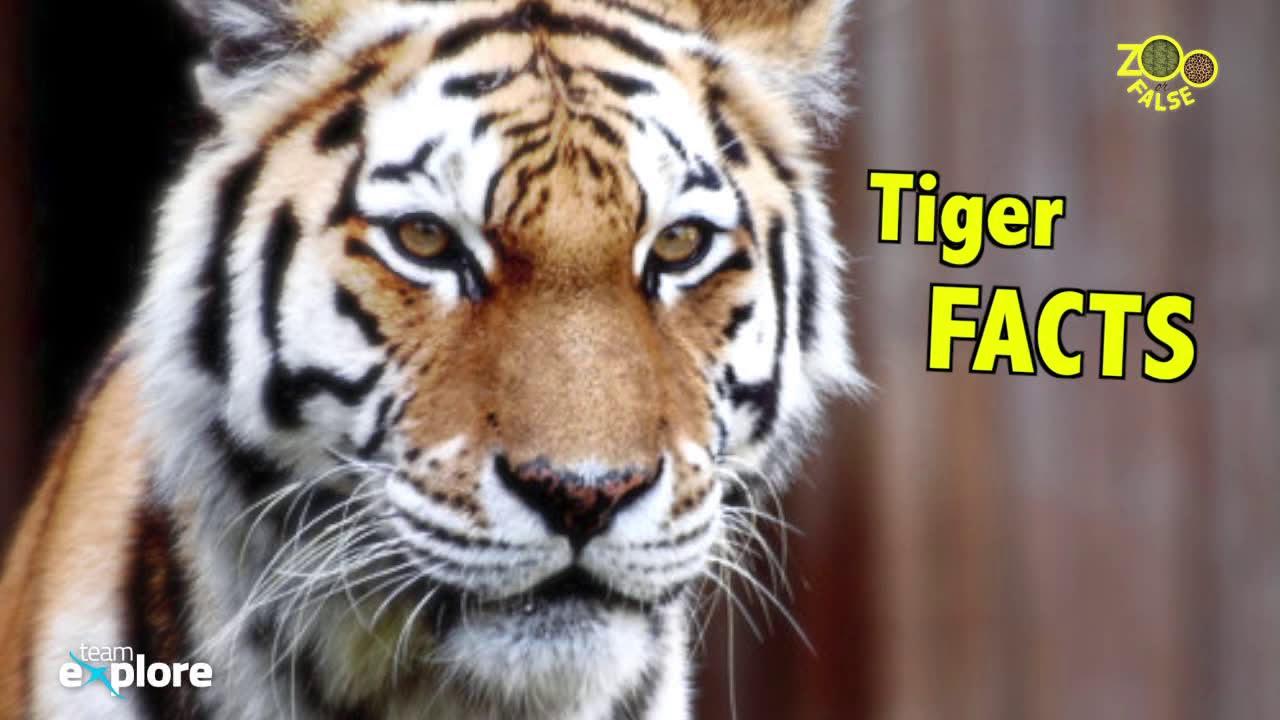 amazing facts about bengal tigers onekindplanet animal - 1200×675