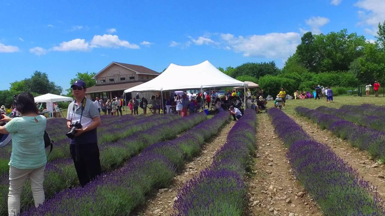 Lavender Farm Ontario   Prince Edward County Lavender Farm