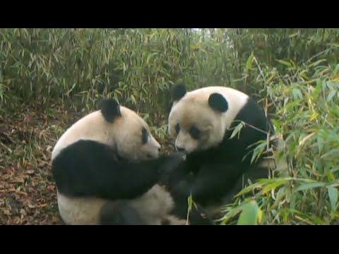 Wild Giant Panda Twins Spotted in China's Wolong Nature Reserve