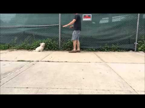 "Teach Puppy to come when called ""Here"" Command"