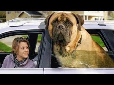 Top 10 Perros Más Grandes Del Mundo