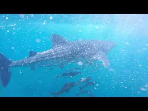 Whale Shark - Dimaniyat Islands, Oman Diving