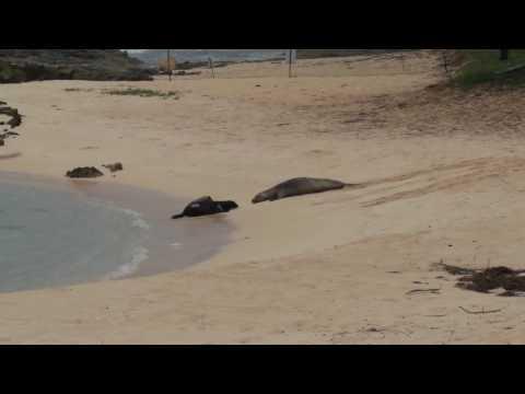 Hawaiian Monk Seal - Pup and Mom