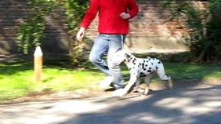 Dalmatian Zagreb's Everest 9 Months Old