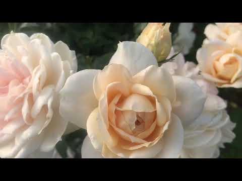 Незабываемое Цветение розы Лионс Роуз (Lions Rose). Питомник Роз ЕЛЕНЫ ИВАЩЕНКО