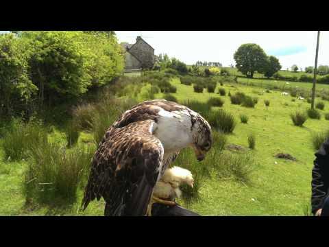 Falconry in Shropshire