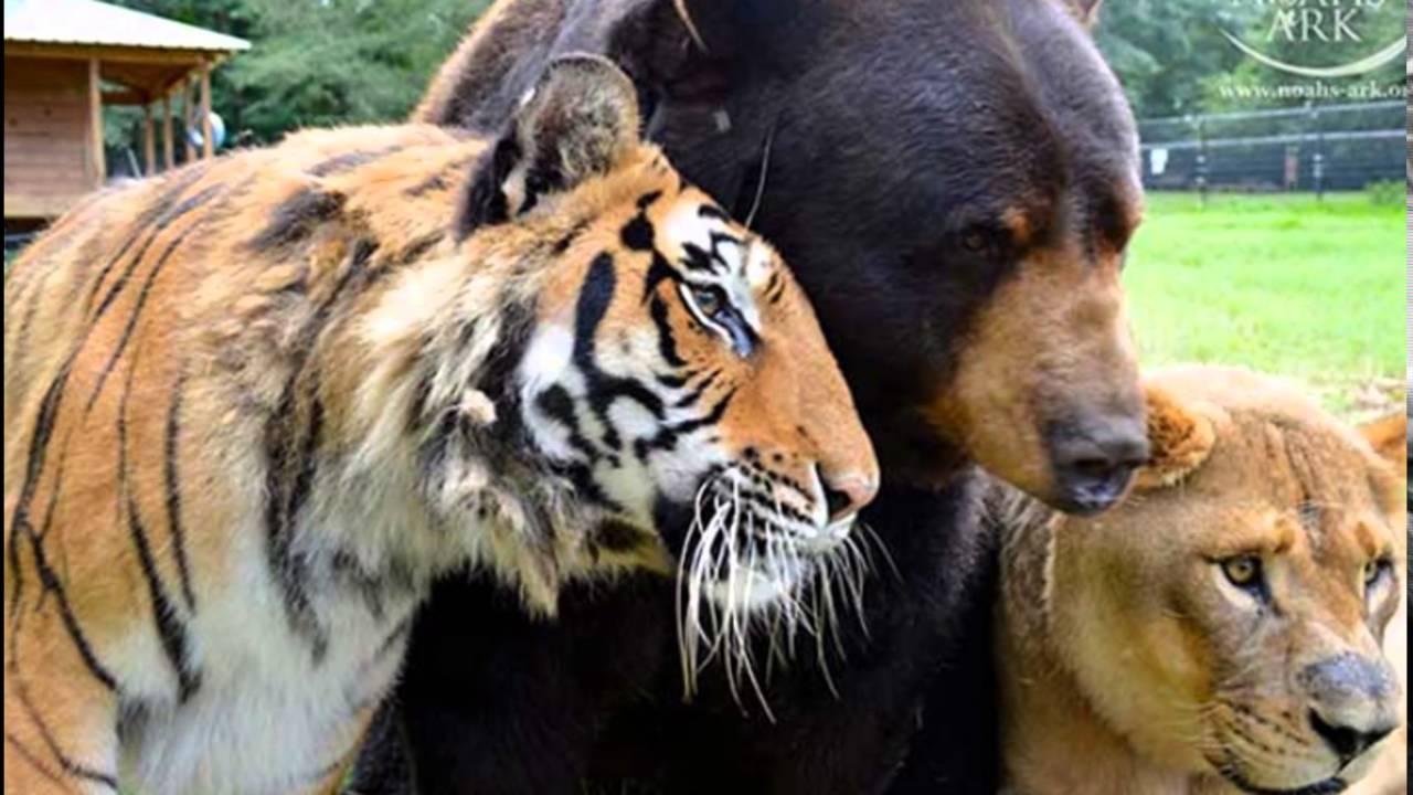 Leones Tigres Y Osos Tiernos Youtube