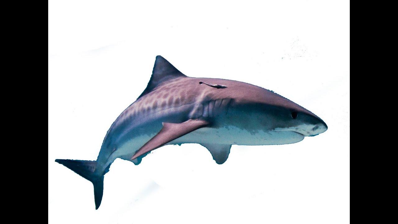 Sharks Fish Song Songs for Children Kids Preschoolers