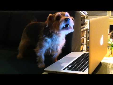 Kirby the Norfolk Terrier uses Macbook Pro