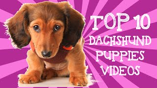 Top 10 Dachshund Puppies Videos